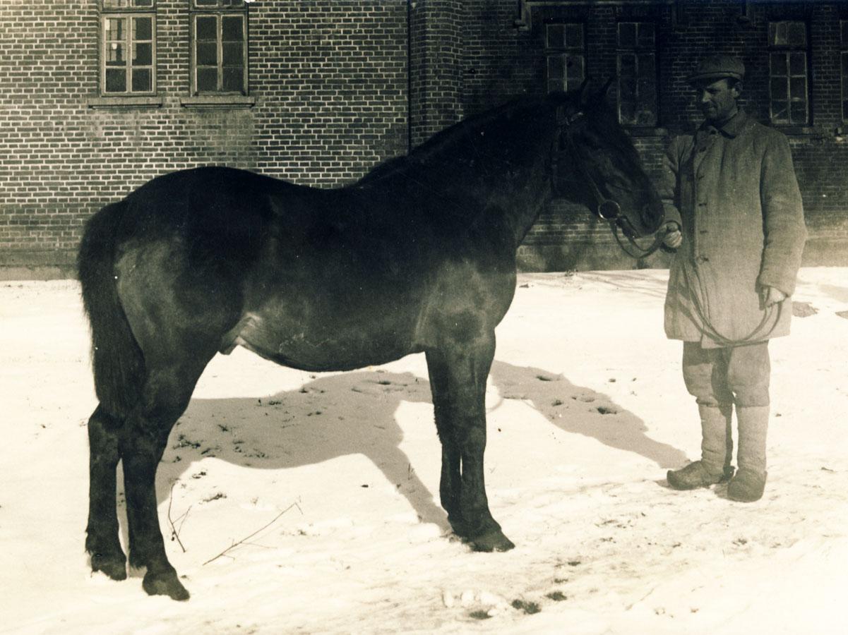 Gruzdžių žirgyno žemaitukas, 1943 m.