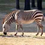 Kalninis-zebras