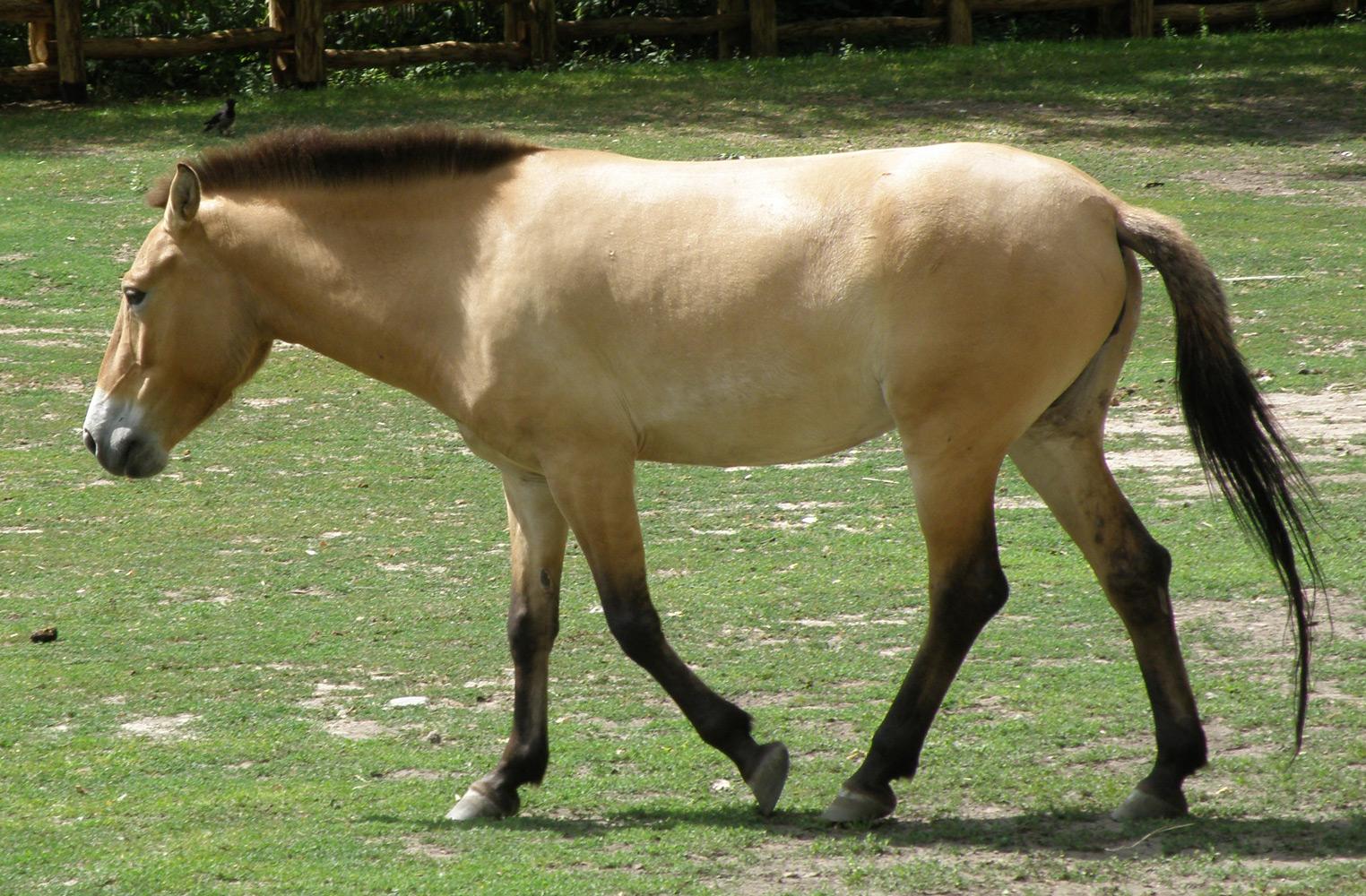 Przevalskio-arklys